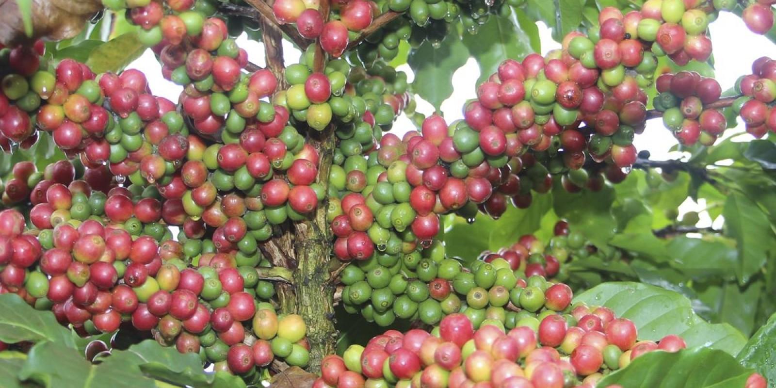 Pesquisa e setor produtivo buscam mais qualidade ao café produzido no Cerrado Mineiro