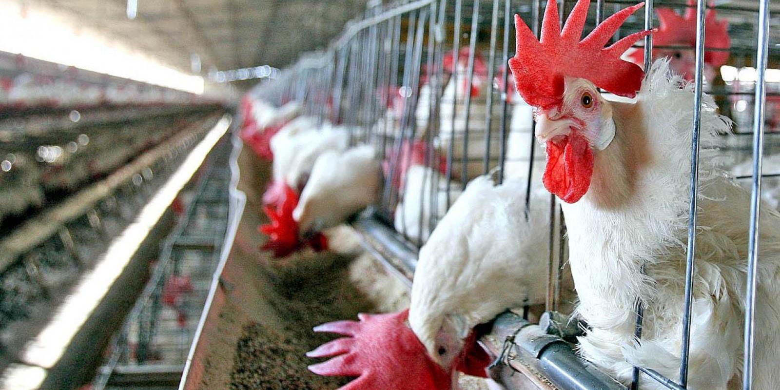 """Por segurança sanitária, avícola vai promover a grande """"viagem das galinhas"""""""