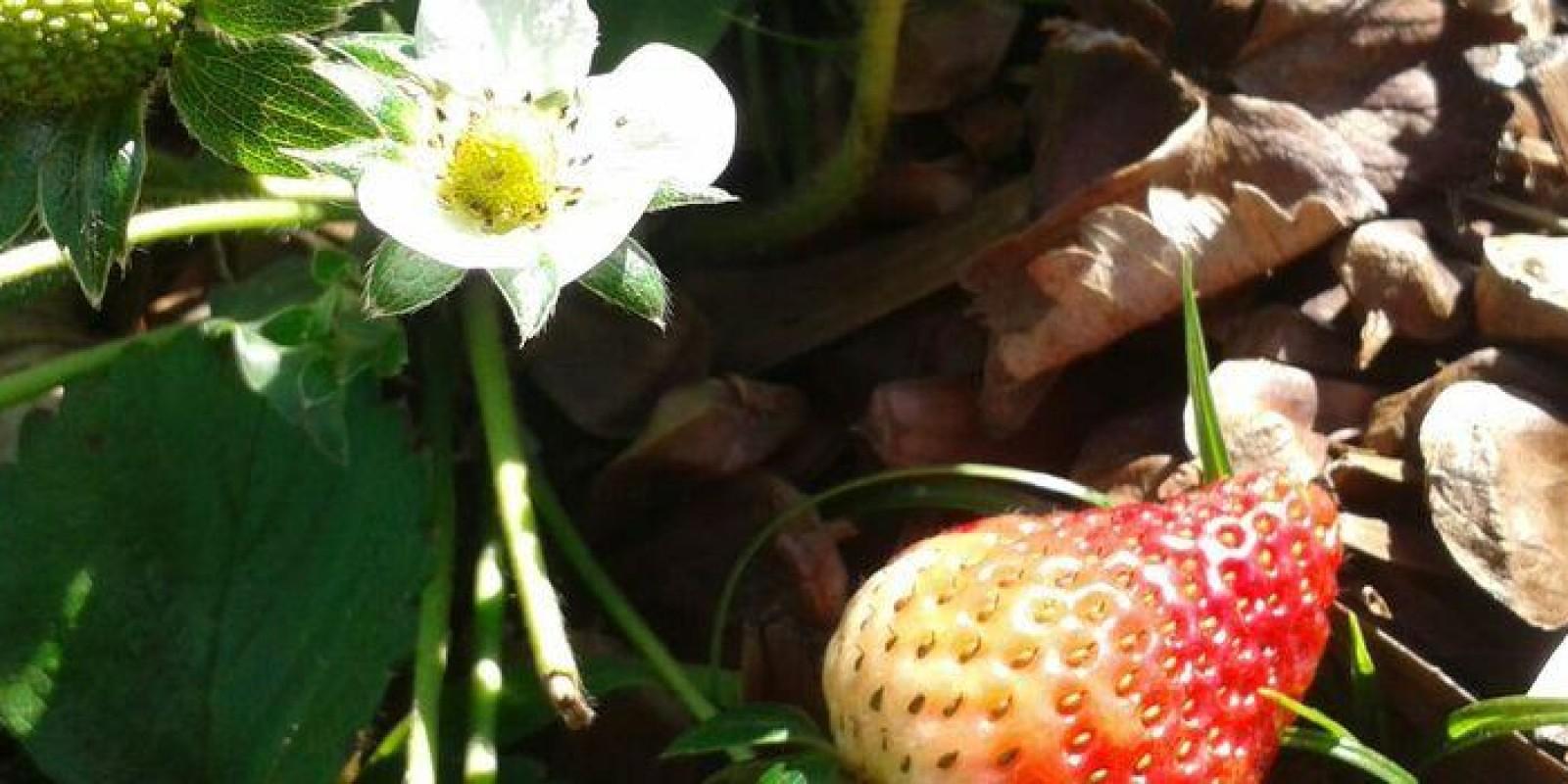 Produção de 'berries' avança e exportações de frutas tradicionais crescem em Minas Gerais