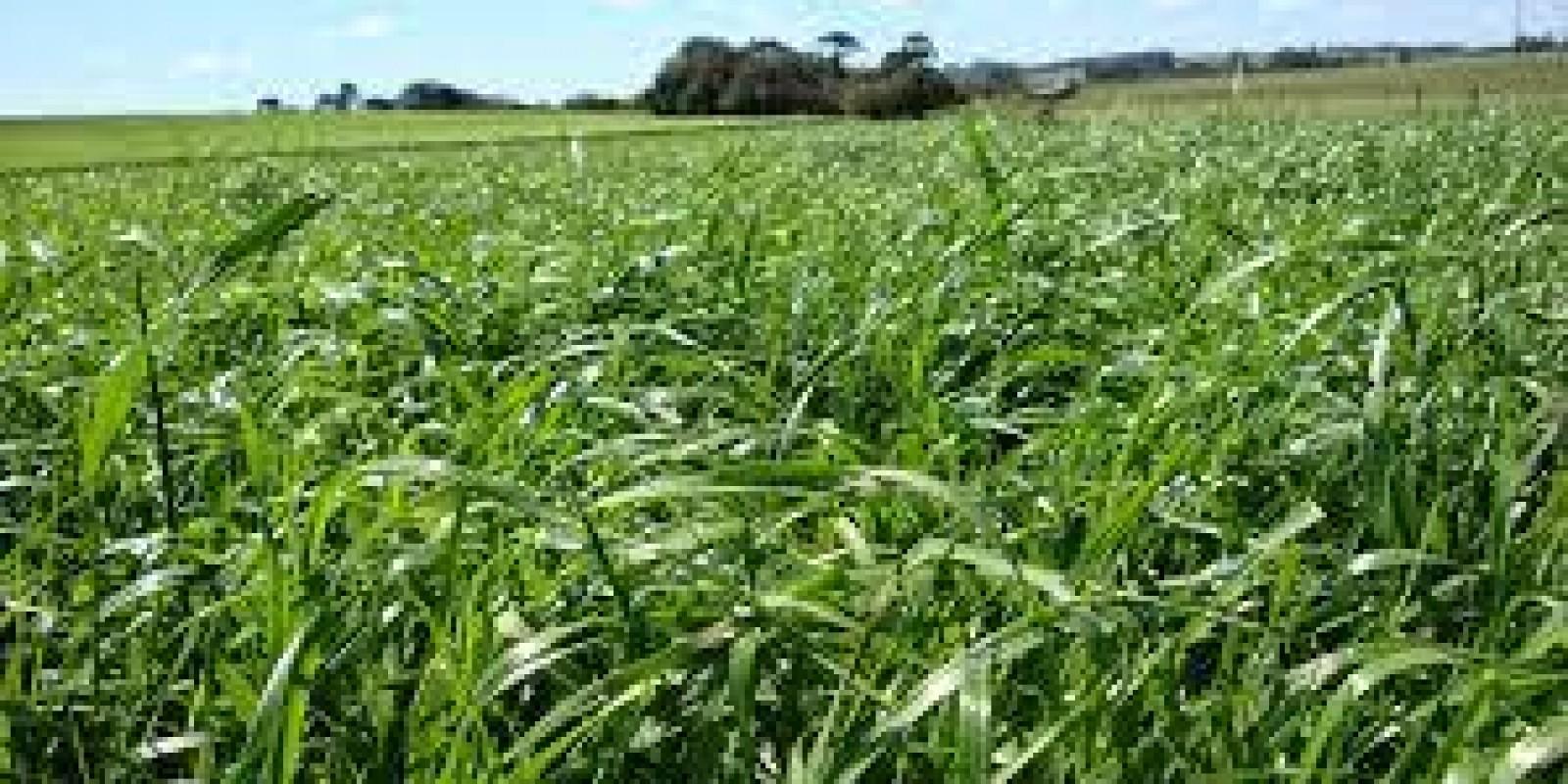 Atraso na adubação de pastagem gera perda de 3 arrobas por hectare