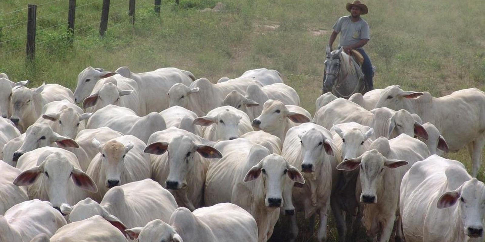 Segunda etapa da vacinação do gado contra aftosa em Minas começa na próxima quarta, 1º de novembro