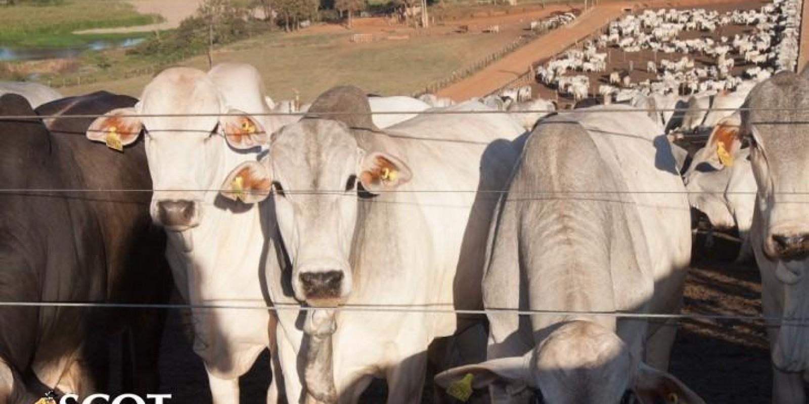 Mercado do boi gordo firme