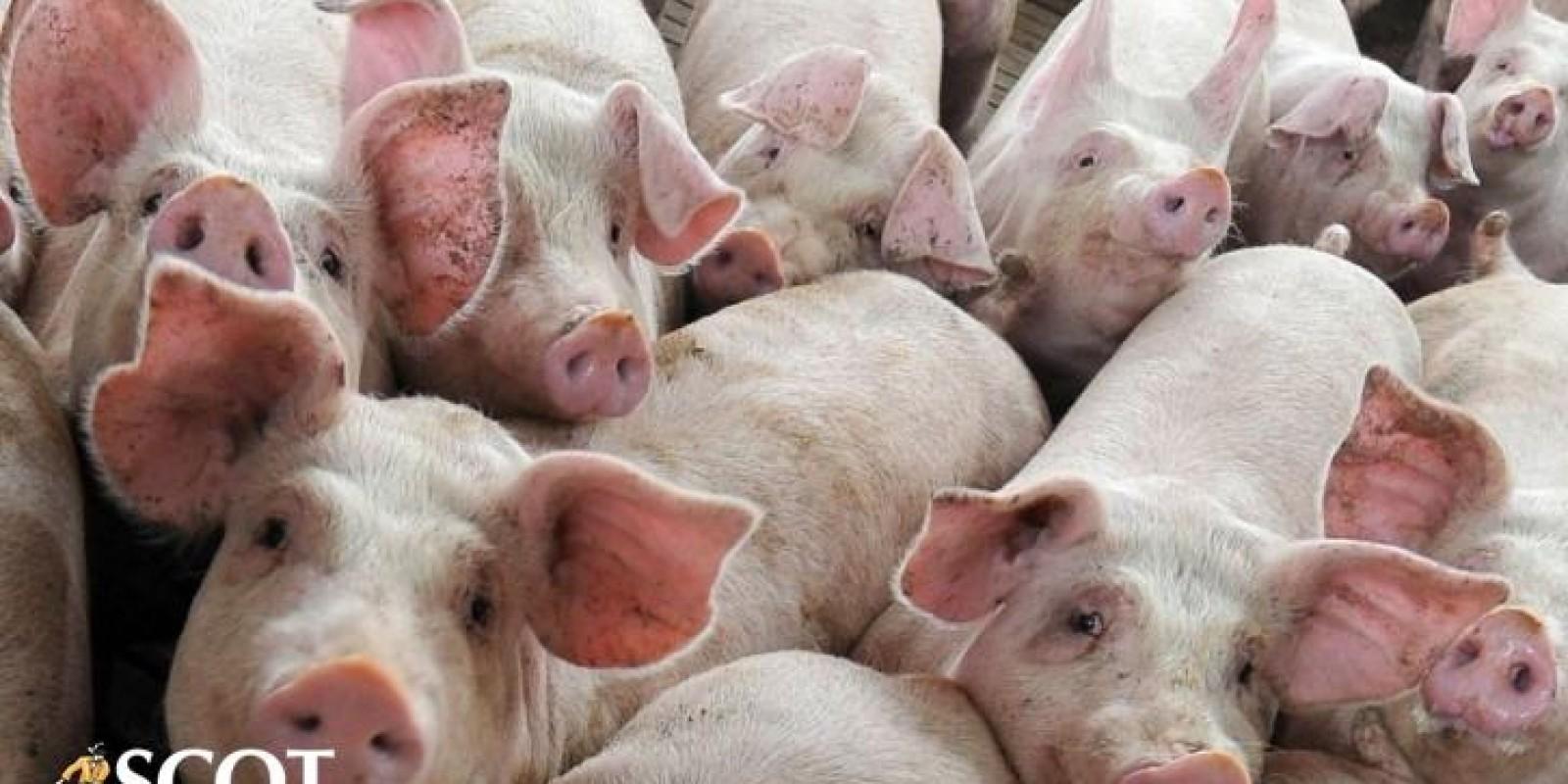 Preço do suíno subiu no atacado em São Paulo