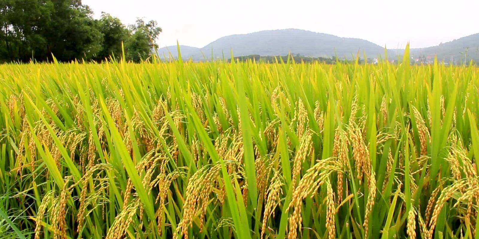 Conab divulga senhas para acesso à pesquisa de estoque privado do arroz