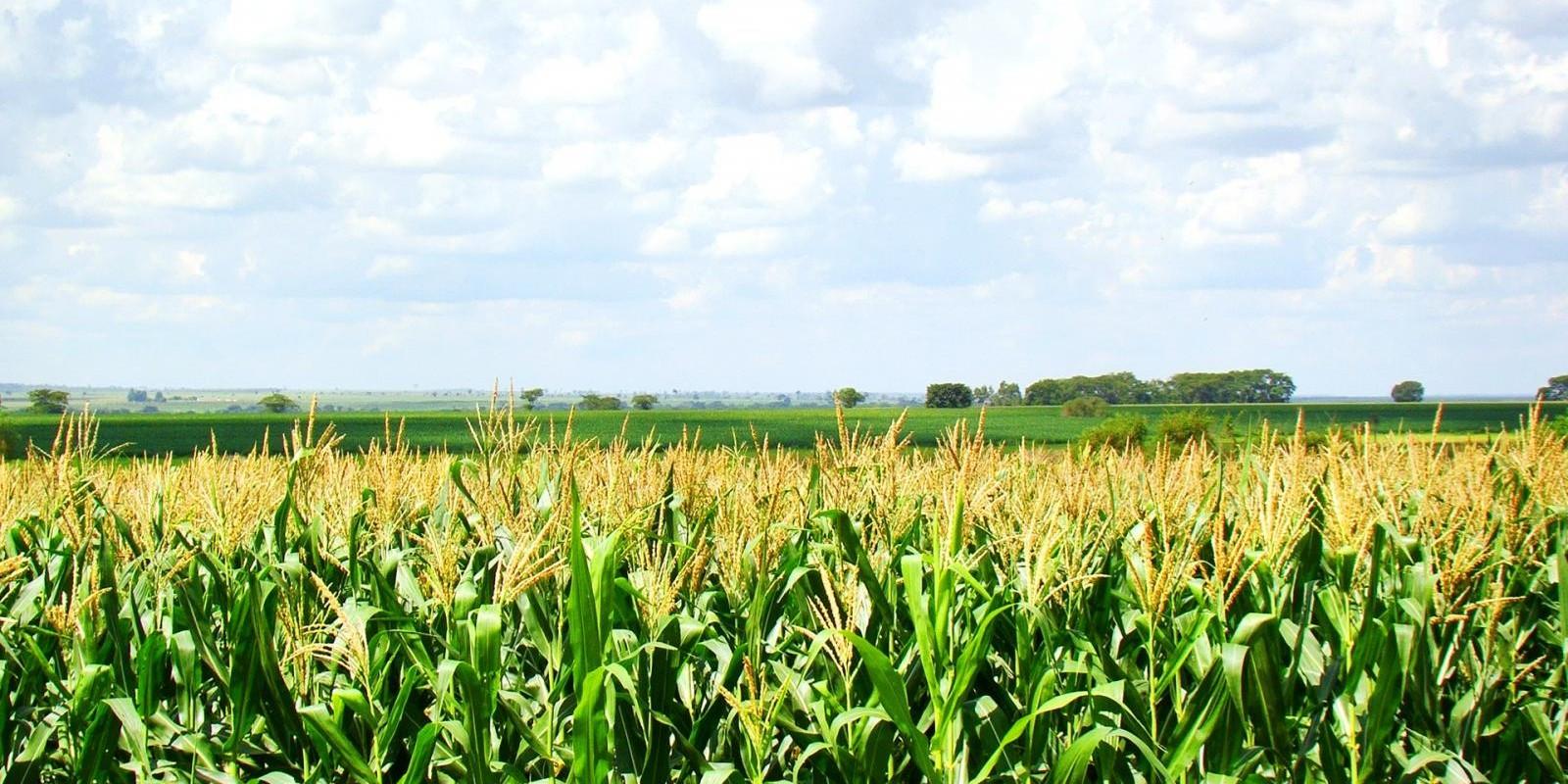 Plantio de milho safrinha salta no Paraná com tempo seco e colheita de soja, mas segue atrasado
