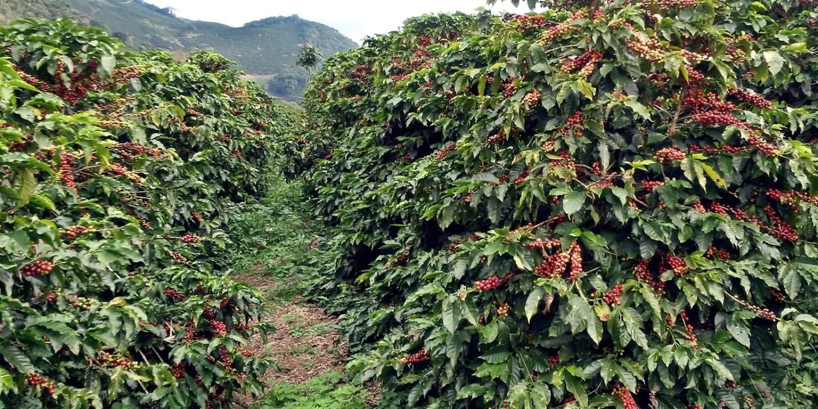 Levantamento de café da Conab confirma produção recorde de 58 milhões de sacas