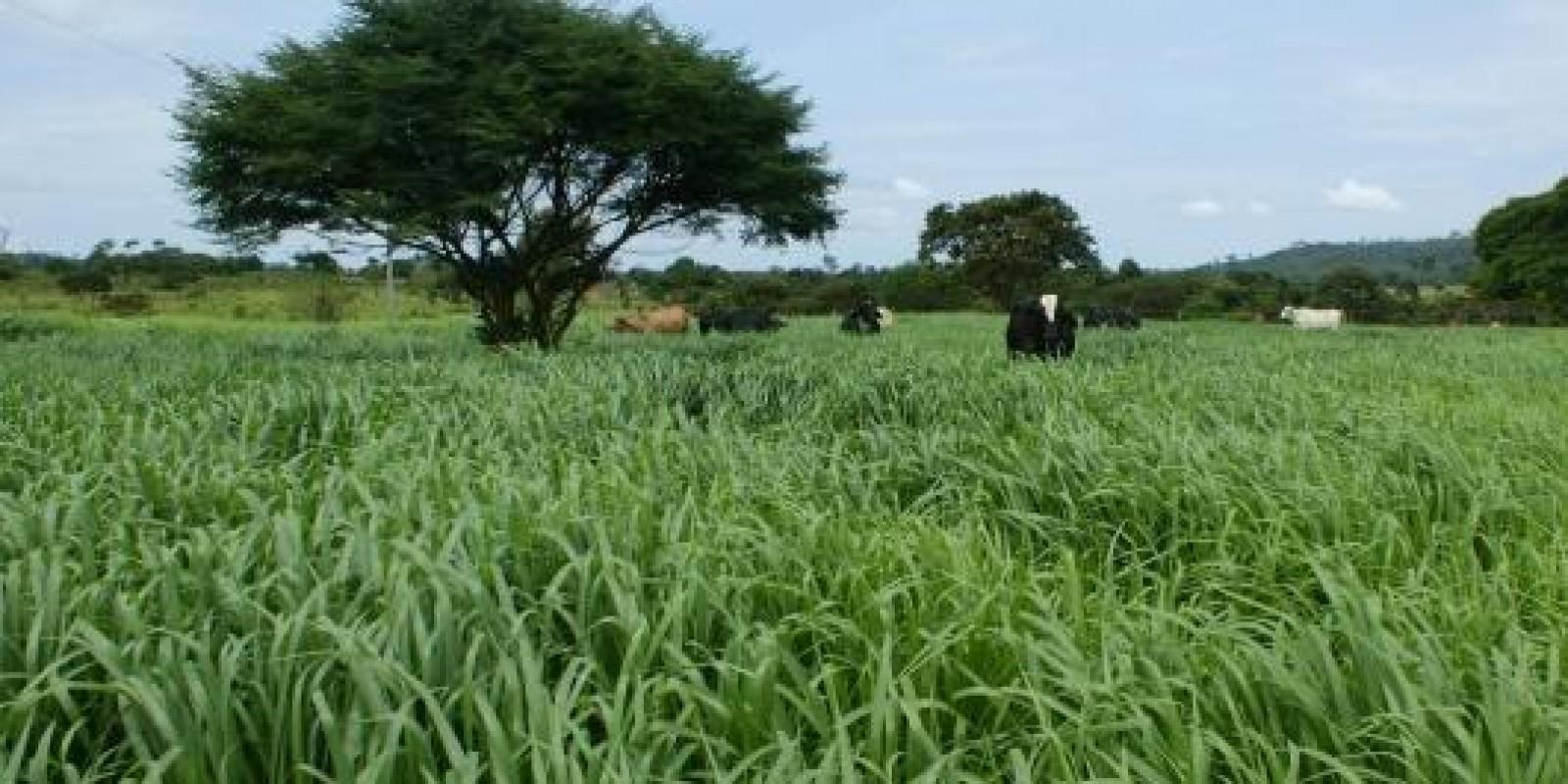 Sementes de pastagens inoculadas reduzem em 10 vezes gastos com fertilizantes
