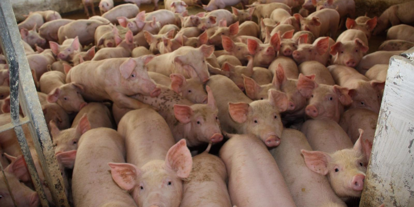 China confirma quarto surto de febre suína africana