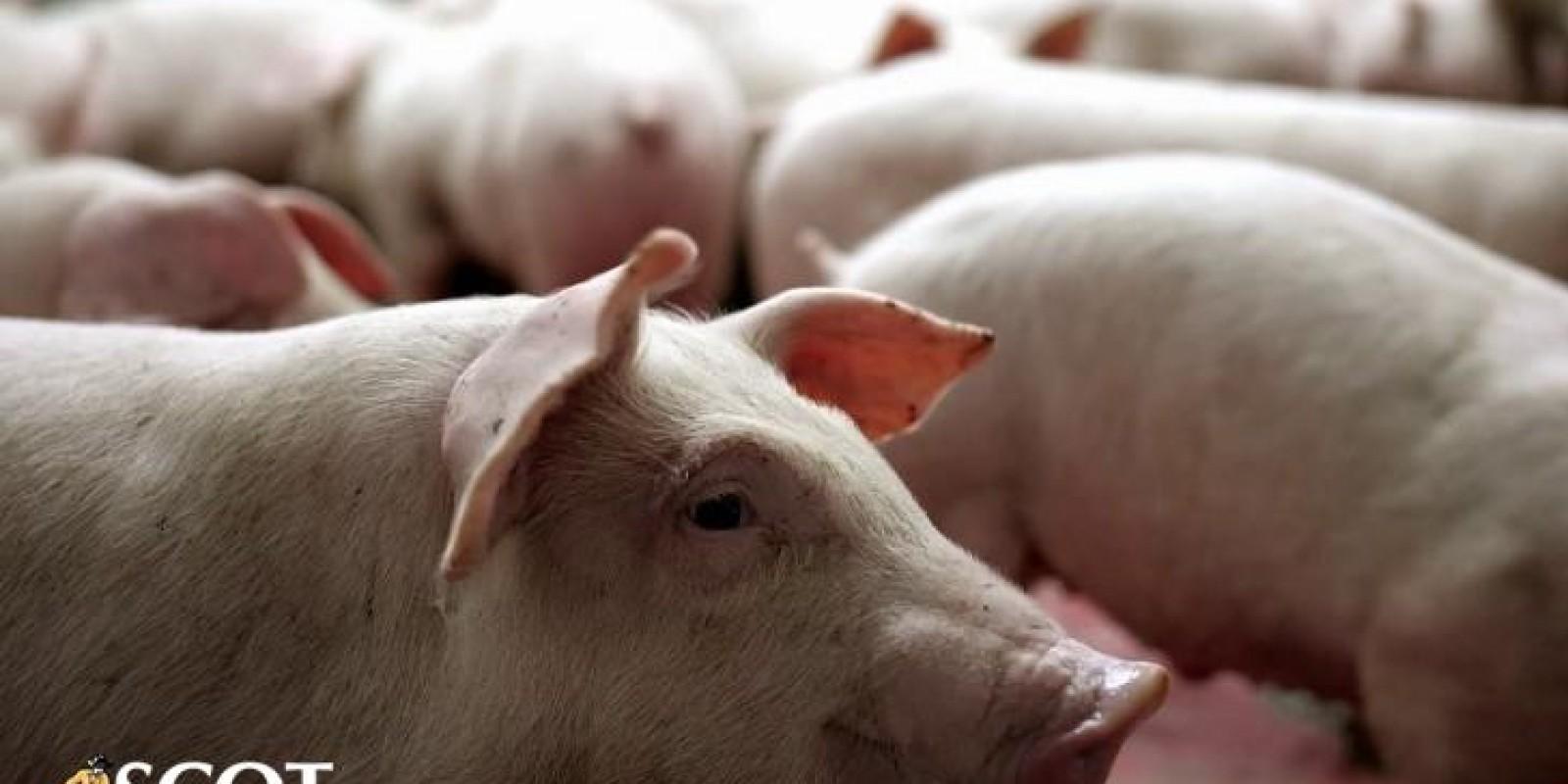 Mercado de suínos: melhora de preços no atacado