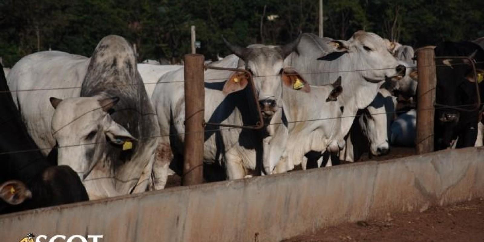 Pouca oferta mantém preços firmes no mercado do boi gordo