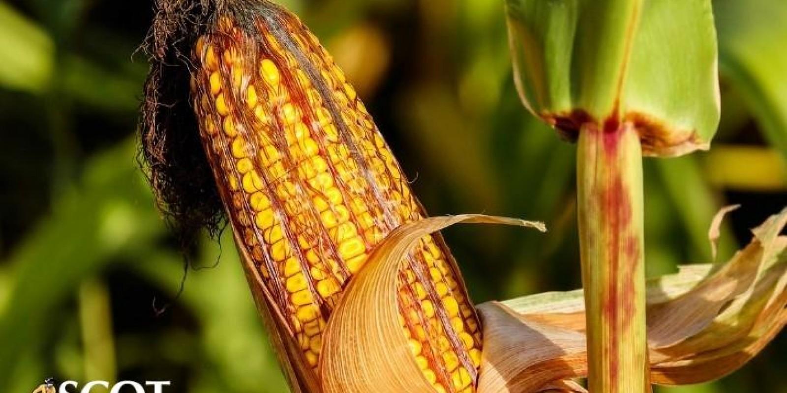 Mercado do milho com preços frouxos