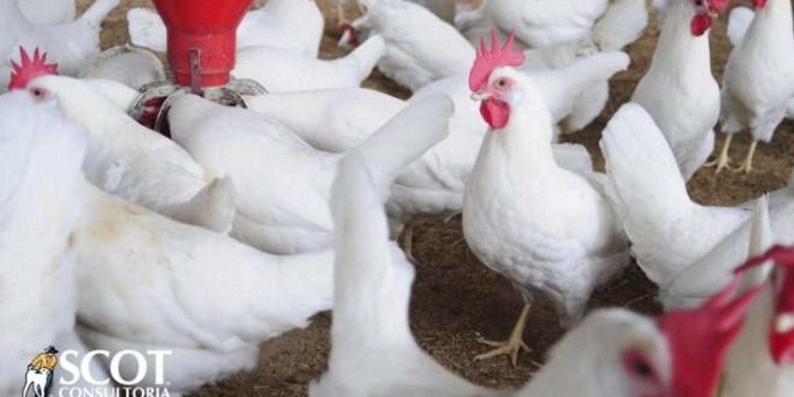 Frango: estabilidade na granja e alta no atacado