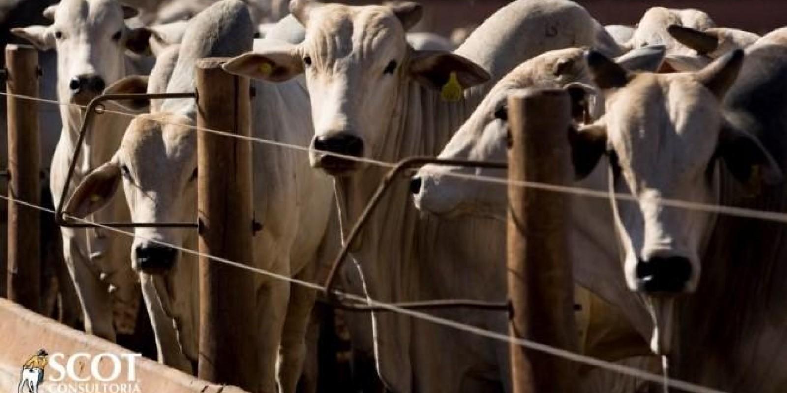 Primeira semana de setembro fecha com preços firmes no mercado do boi gordo