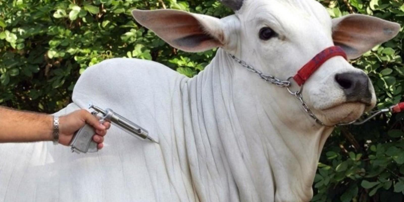 Vacinação de bovinos e bubalinos contra a febre aftosa começa no dia 1º de maio em todo o estado