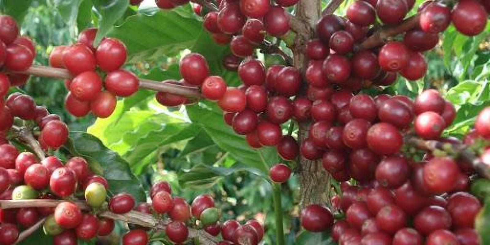Epamig avalia alternativas de controle biológico para o combate de pragas na cafeicultura