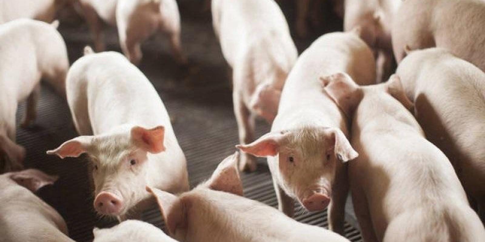 IMA treina online veterinários para habilitação de GTA de suídeos