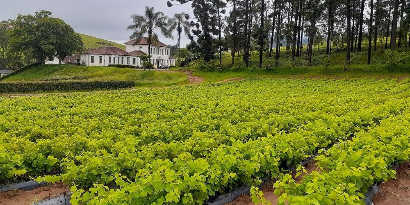 Produção de mudas pela Epamig contribui para a expansão da vitivinicultura nas regiões Sudeste e Centro-Oeste do Brasil